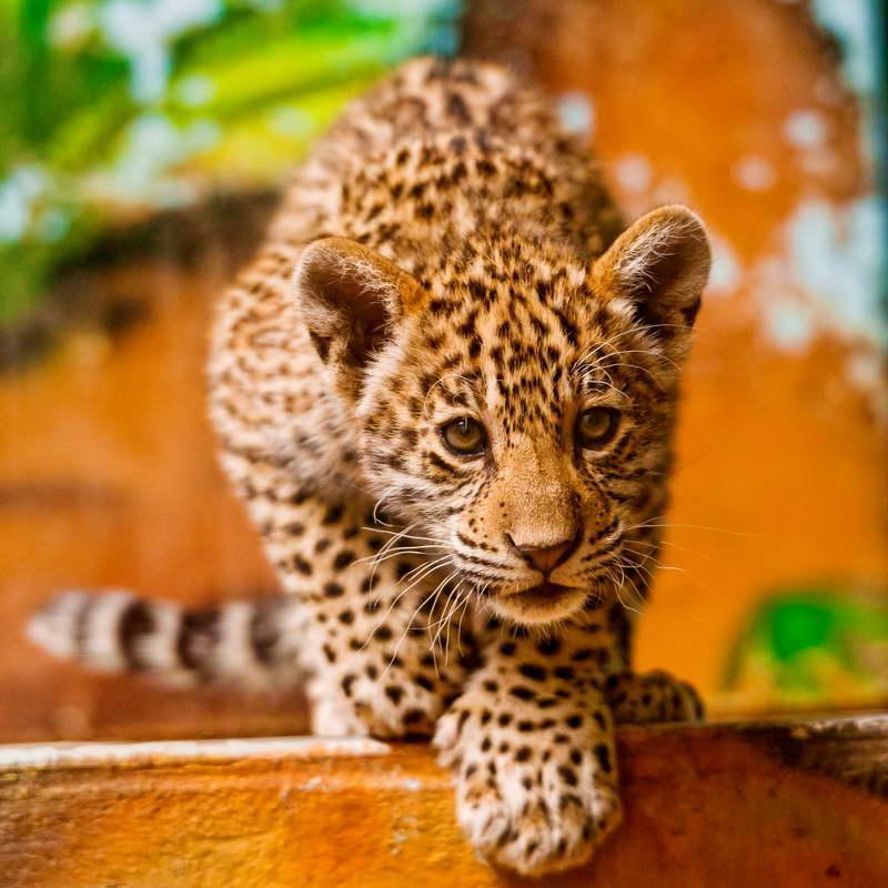 Cuadro en lienzo con bastidor Cachorro Jaguar andando