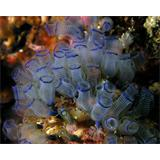 Fotomural  Bluebell tunicates